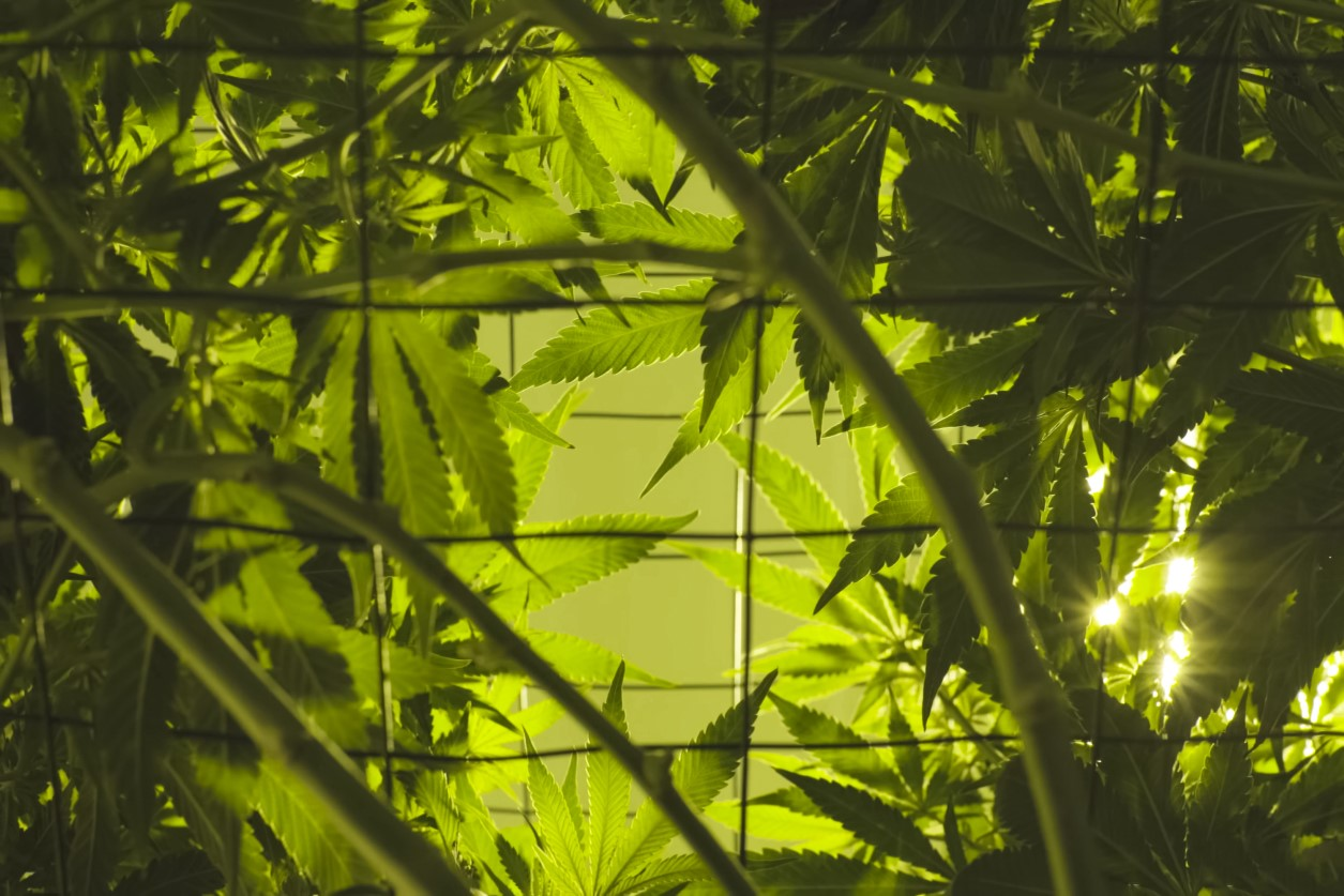 Evolving State Marijuana Laws and Safety-Sensitive Functions